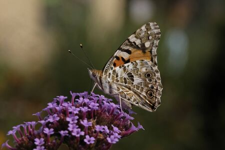 Vanessa cardui, Cynthia cardui, Painted Lady butterfly on Verbena bonariensis, Argentinian Vervain Stock Photo - 11579916