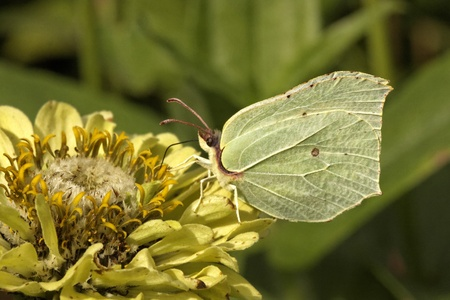 Gonepteryx rhamni, Common Brimstone, Brimstone in august, Germany, Europe photo