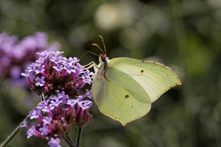 Gonepteryx rhamni, Common Brimstone, Brimstone on Purpletop Vervain, Verbena Stock Photo - 11579933