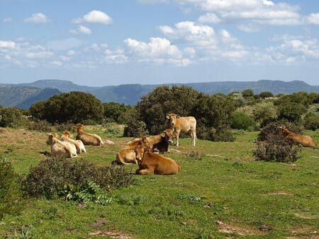 Коровы на юго-востоке Сардинии недалеко Armungia, Италии, Европы