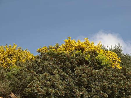 sud: Broom bushes at the Costa del Sud, South Sardinia, Italy, Europe