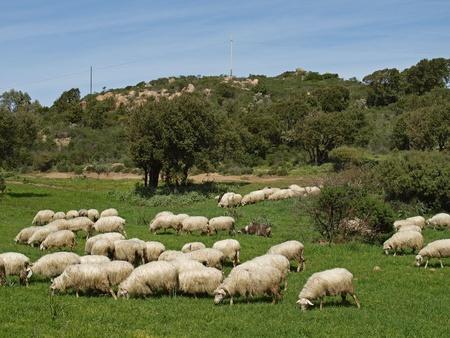 Стадо овец возле Gennamari на юго-западе Сардинии, Италии, Европы Фото со стока