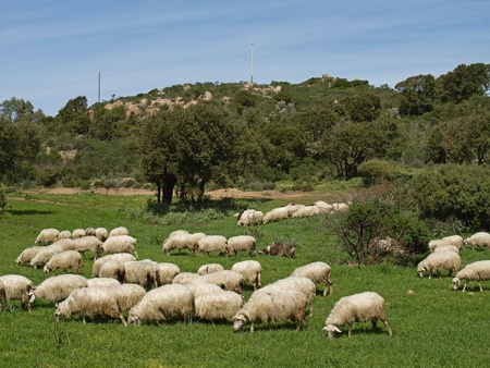 Flock of sheep near Gennamari in the Southwest of Sardinia, Italy, Europe