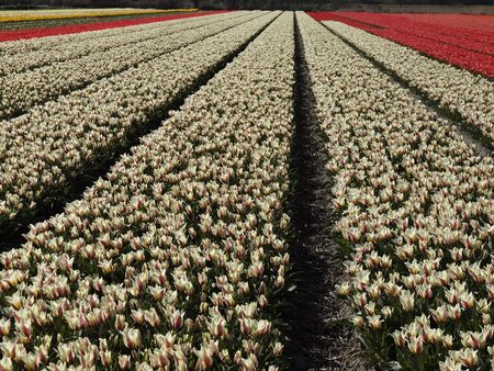 Tulip field near Lisse, South Holland, Netherlands, Europe Stock Photo - 12003011