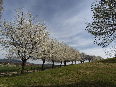 Footpath with cherry trees in Hagen, Lower Saxony, Germany, Europe Stock Photo - 12026511