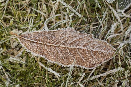 nervure: Frost-covered leaf in November