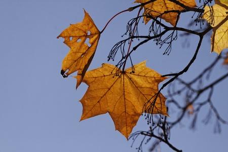 nervure: Acer platanoides, arce de Noruega en el oto�o, Alemania, Europa