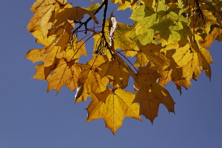 nervure: Acer platanoides, Norway maple in autumn, Germany, Europe Stock Photo