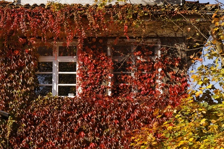House wall with Japanese creeper, Woodbine, Boston Ivy, Ivy in Germany, Europe photo