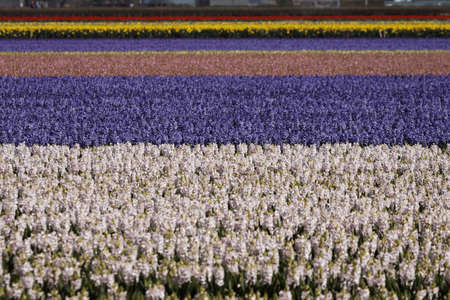 Flower field with garden hyacinths, Hyacinthus orientalis near Lisse, South Holland, Netherlands photo
