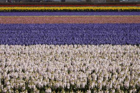 hyacinthus: Flower field with garden hyacinths, Hyacinthus orientalis near Lisse, South Holland, Netherlands