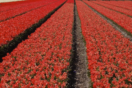 floriculture: Tulip field near Noordwijkerhout, South Holland, Netherlands, Europe Stock Photo