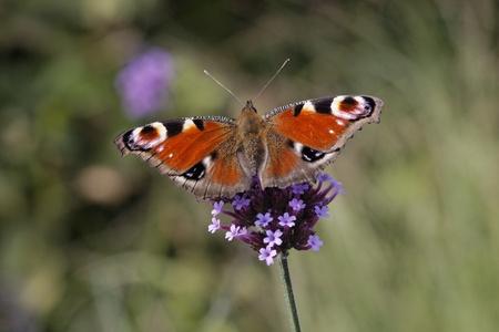peacock butterfly: Peacock Butterfly, Europa del pavo real en Purpletop verbena, verbena en Alemania, Europa
