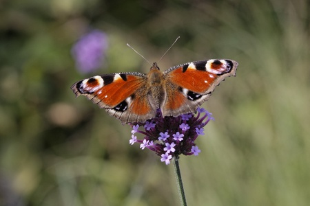 Peacock Butterfly, European Peacock on  Purpletop Vervain, Verbena in Germany, Europe photo