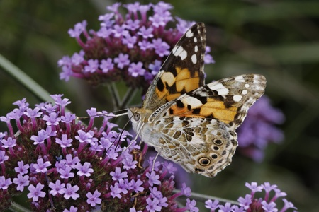 Vanessa cardui, Cynthia cardui, Painted Lady butterfly on Verbena bonariensis, Argentinian Vervain Stock Photo - 12043742