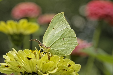 gonepteryx rhamni: Gonepteryx rhamni, Common Brimstone, Brimstone in august, Germany, Europe Stock Photo