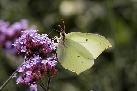 Gonepteryx rhamni, Common Brimstone, Brimstone on Purpletop Vervain, Verbena in Germany, Europe photo