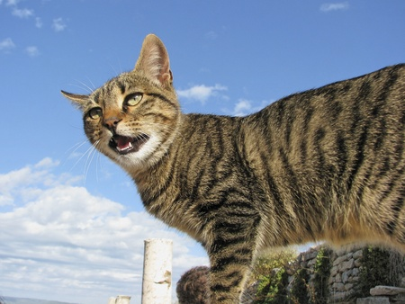 Spitting domestic cat (housecat) on a wall photo