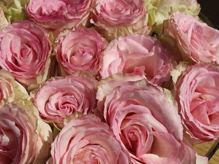 Розовые розы в Германии