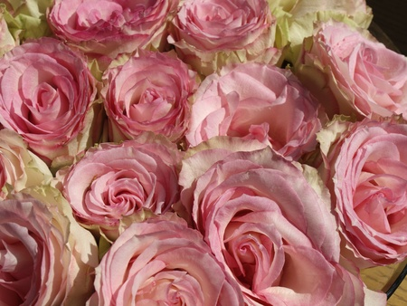 Pink Roses in Germany