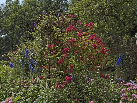 rosebush: Garden with rosebush and Larkspur in Germany Stock Photo