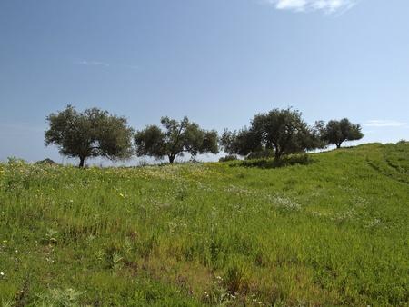 rei: Olive trees (Olea europaea) Costa Rei, Capo Ferrato, Southeast Sardinia, Italy, Europe Stock Photo