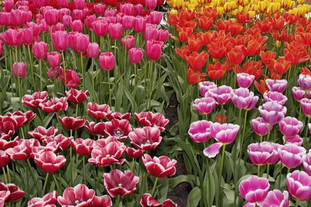 Tulip flowers in spring, Netherlands photo