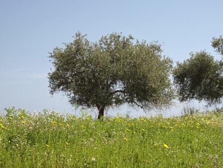 Olive tree (Olea europaea) Costa Rei, Capo Ferrato, Southeast Sardinia, Italy, Europe