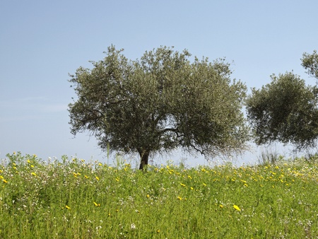 rei: Olive tree (Olea europaea) Costa Rei, Capo Ferrato, Southeast Sardinia, Italy, Europe