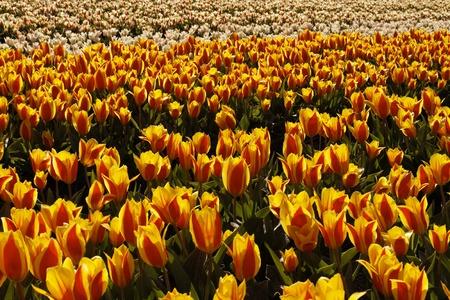 nurseries: Tulip field near Noordwijkerhout, South Holland, Netherlands