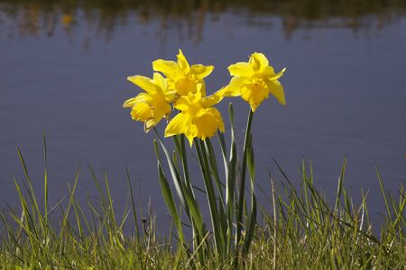 Daffodils at a brook in the Netherlands photo