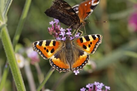 nymphalis: Peacock Butterfly (Nymphalis io, Inachis io)- European Peacock and Small Tortoiseshell on Purpletop Vervain in Germany, Europe