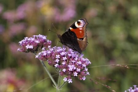 io: Peacock Butterfly (Nymphalis io, Inachis io) - European Peacock on Purpletop Vervain in Germany