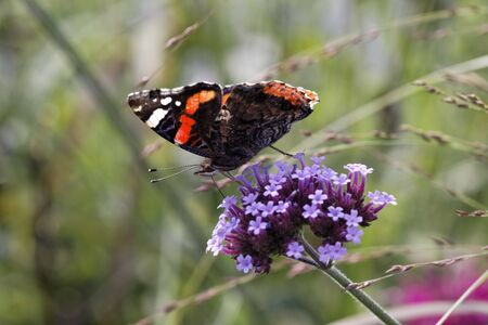 admiral: Red Admiral (Vanessa atalanta) on Verbena bonariensis, Argentinian Vervain in Germany, Europe