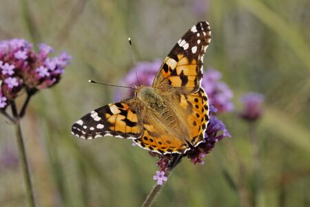 vanessa: Vanessa cardui, Cynthia cardui, Painted Lady butterfly on Verbena bonariensis, Argentinian Vervain, Germany, Europe