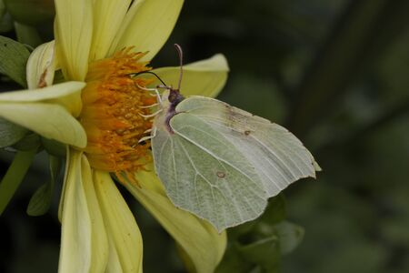 gonepteryx rhamni: Gonepteryx rhamni, Common Brimstone, Brimstone on Dahlia on Germany, Europe