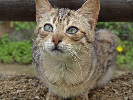 felis silvestris catus: Young domestic cat (Felis silvestris catus), housecat