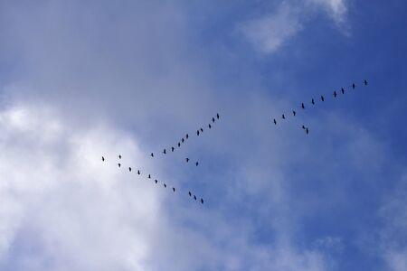 Cranes (Grus grus), bird migration in November, Germany, Europe