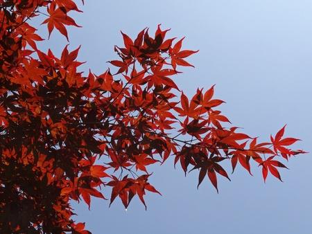 broadleaved tree: Japanese Maple, Smooth Japanese Maple in June, Germany
