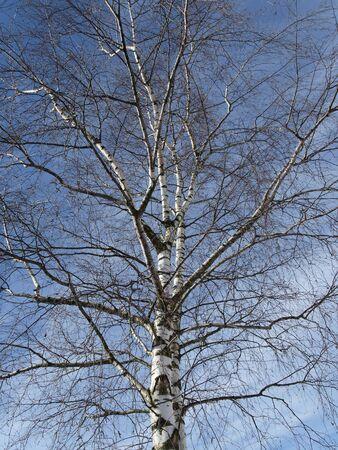 broadleaved tree: Betula - Birch tree in spring, Germany