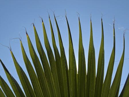 California Washingtonia, Northern Washingtonia, California fan palm, Desert fan palm Stock Photo - 12579496