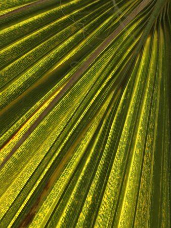 broadleaved tree: Leaf of a palm tree
