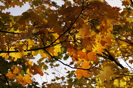 broad leaved tree: Acer platanoides, Norway maple in autumn Stock Photo