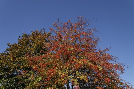 sorbus aucuparia: Sorbus aucuparia, European Rowan, Mountain ash in autumn, Germany
