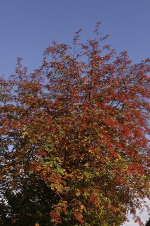broadleaved tree: Sorbus aucuparia, European Rowan, Mountain ash in autumn, Germany