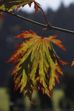 Colouring of the leaves in autumn, leaf detail, backlit shot photo