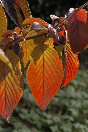 broad leaved tree: Colouring of the leaves in autumn, leaf detail, backlit shot