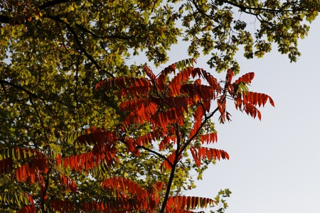 Colouring of the leaves in autumn, leaf detail, backlit shot Stock Photo - 12579470