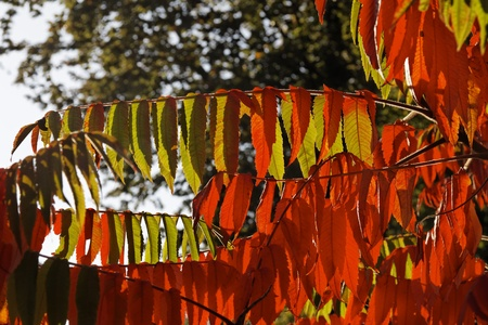 autumn colouring: Colouring of the leaves in autumn, leaf detail, backlit shot