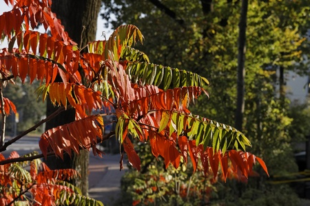 broadleaved tree: Colouring of the leaves in autumn, leaf detail, backlit shot